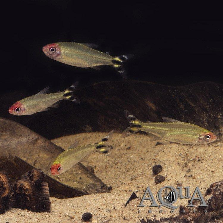 Rummynose Tetra (Hemigrammus rhodostomus) - Group of 10