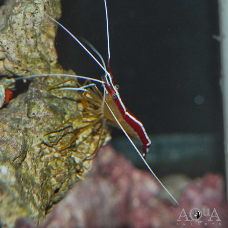 Scarlet Skunk Cleaner Shrimp (Lysmata amboinensis)