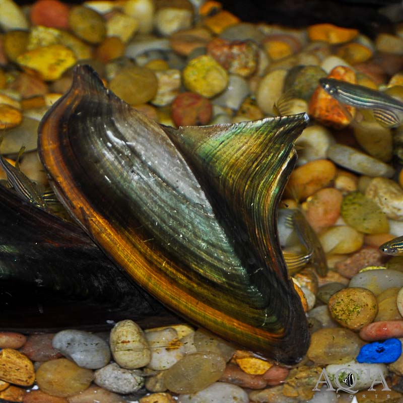 Shark Fin Mussel (Hyriopsis bialatus)