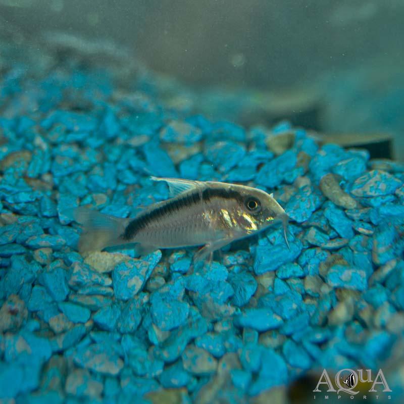 Skunk Cory (Corydoras granti) - Group of 5 Fish