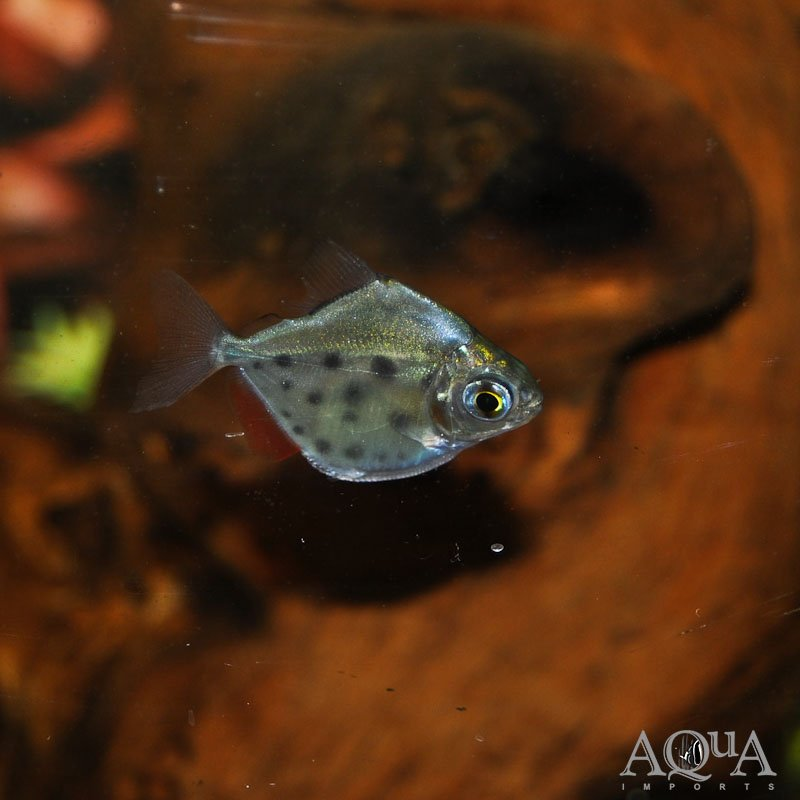Spotted Silver Dollar (Metynnis lippincottianus)