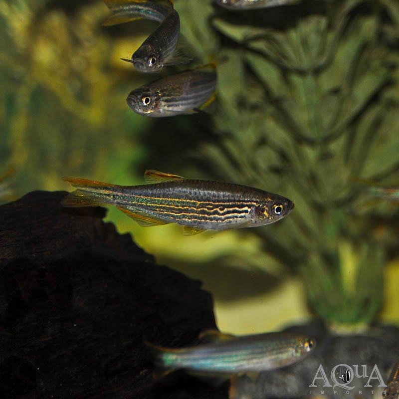Kyathit / Orange Fin Danio (Brachydanio kyathit) - Group of 5 Fish