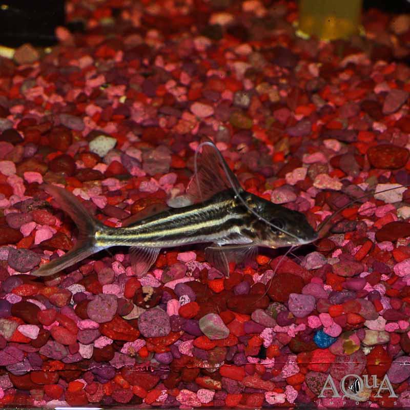 Four Line Pictus Catfish (Pimelodus blochii)
