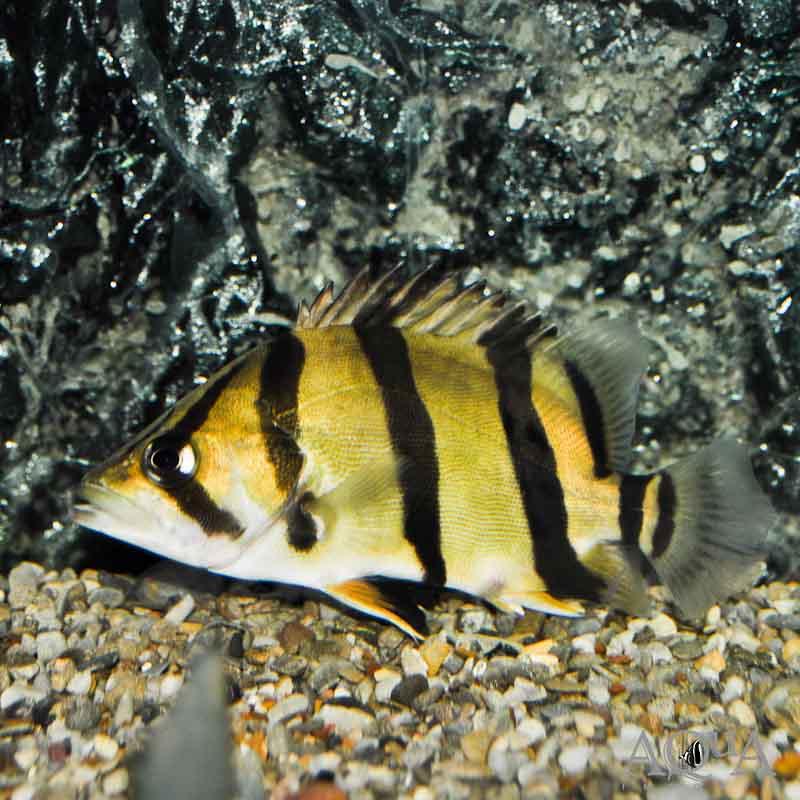 Thinbar Datnoid / Northern Thailand Tigerfish (Datnioides undecimradiatus)