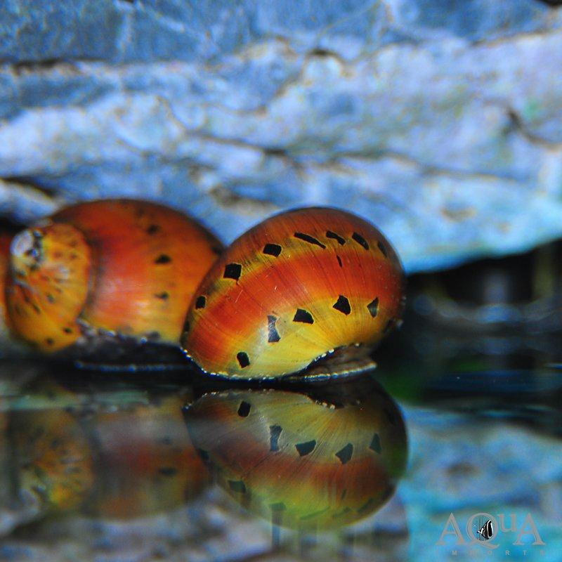 Tiger Nerite Snail (Neritina semiconca)