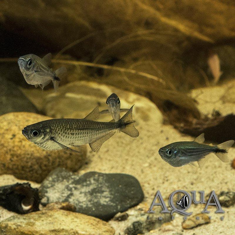Dusky Narrow Hatchetfish (Triportheus angulatus)
