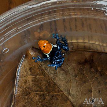 True Nominal Fantastica Dart Frog (Ranitomeya fantastica)