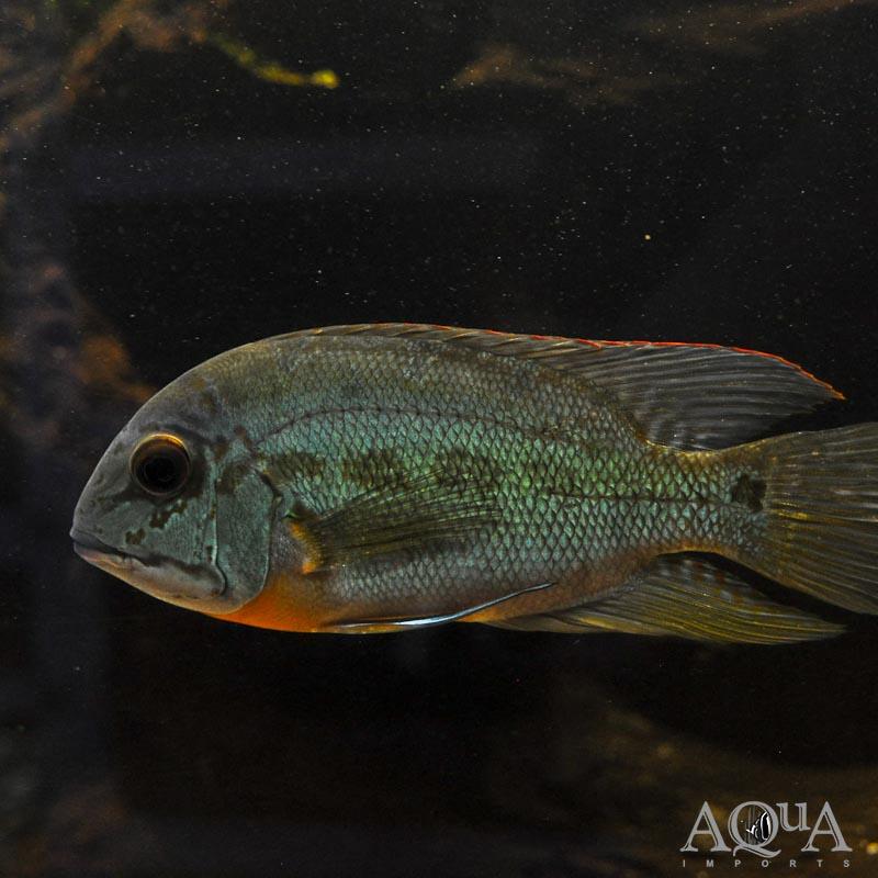 True Parrot Cichlid Hoplarchus Psittacus Aqua Imports Online Store