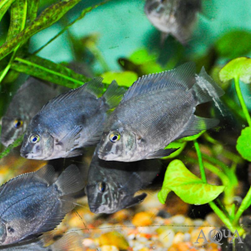 Common Uaru (Uaru amphiacanthoides)
