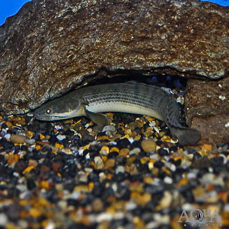 Weeksii Bichir Polypterus Weeksii Aqua Imports Online Store