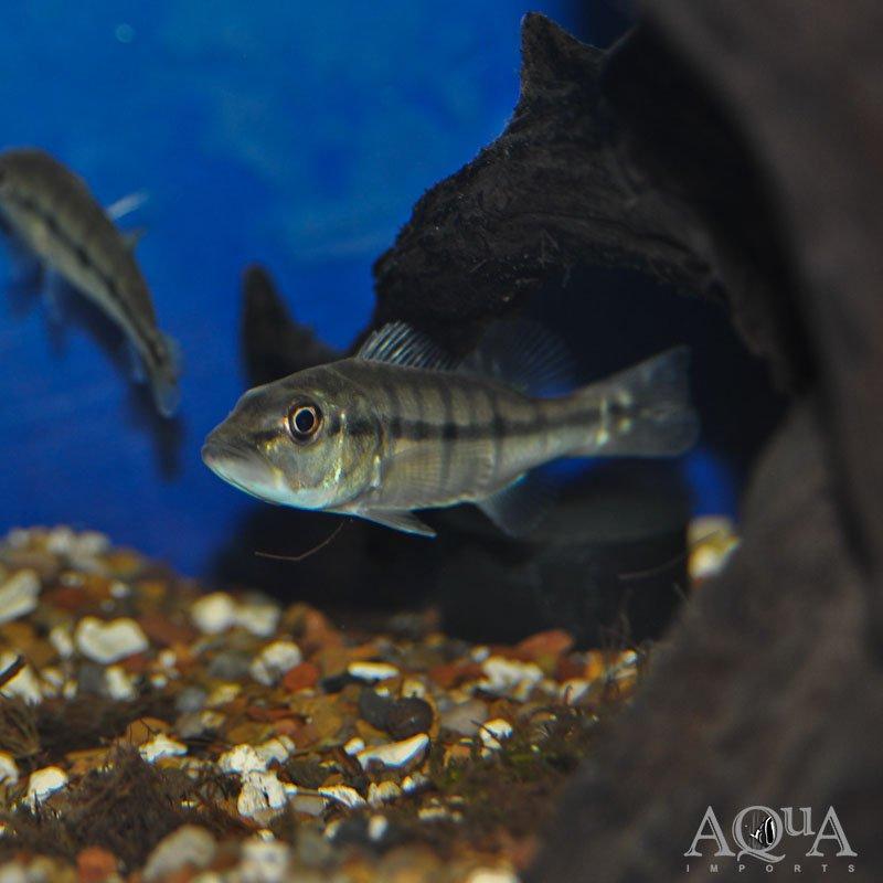 Xingu Peacock Bass (Cichla melaniae)
