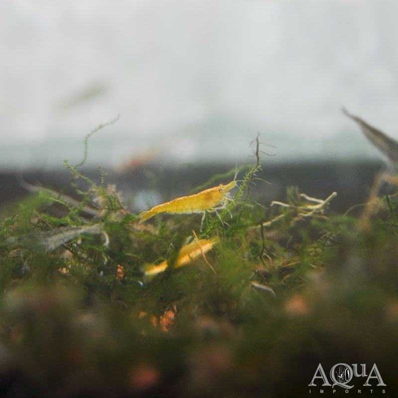 Yellow Fire Shrimp (Neocaridina davidi)