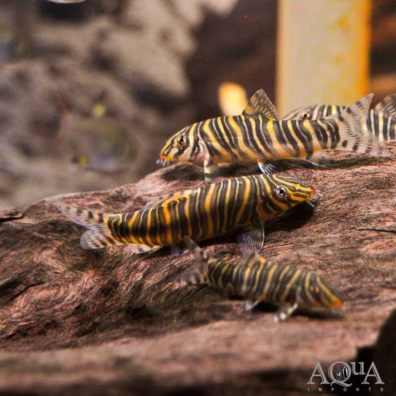 Zebra/Striata Botia (Botia striata)