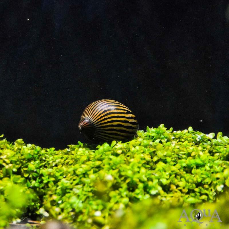 Zebra Nerite Snail (Neritina natalensis)