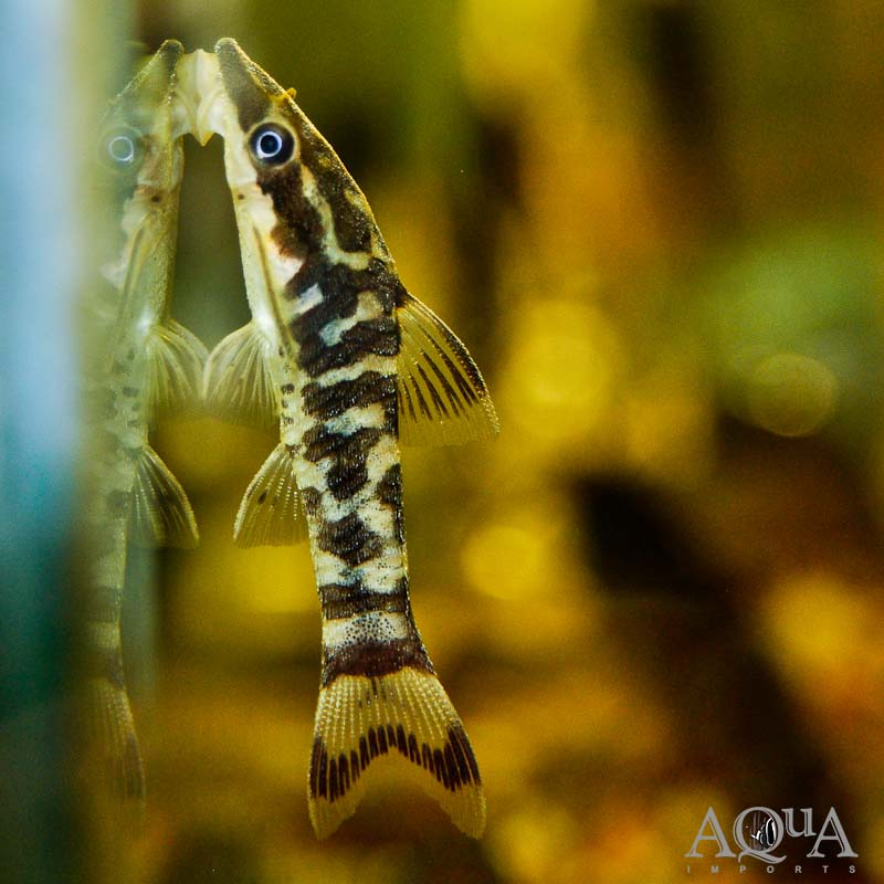 Rio Tigre Zebra Oto (Otocinclus cocama)