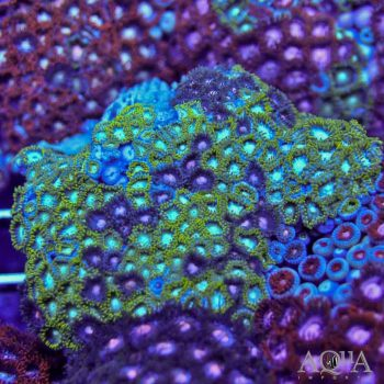 Assorted Zoanthid Colony