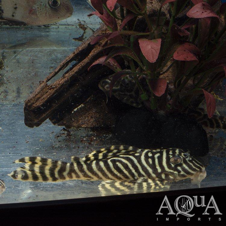L333 Yellow King Tiger Pleco (Hypancistrus sp. L333)