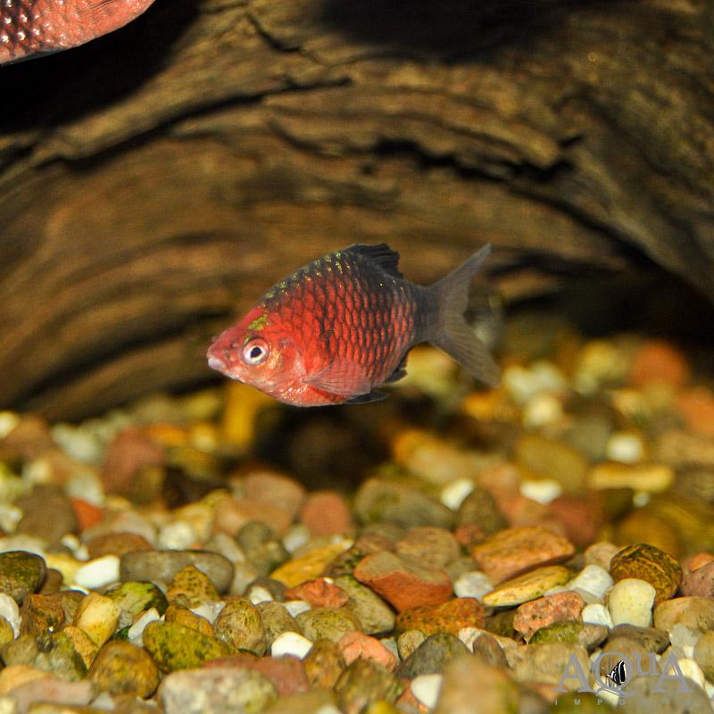 Black Ruby Barb(Pethia nigrofasciata)