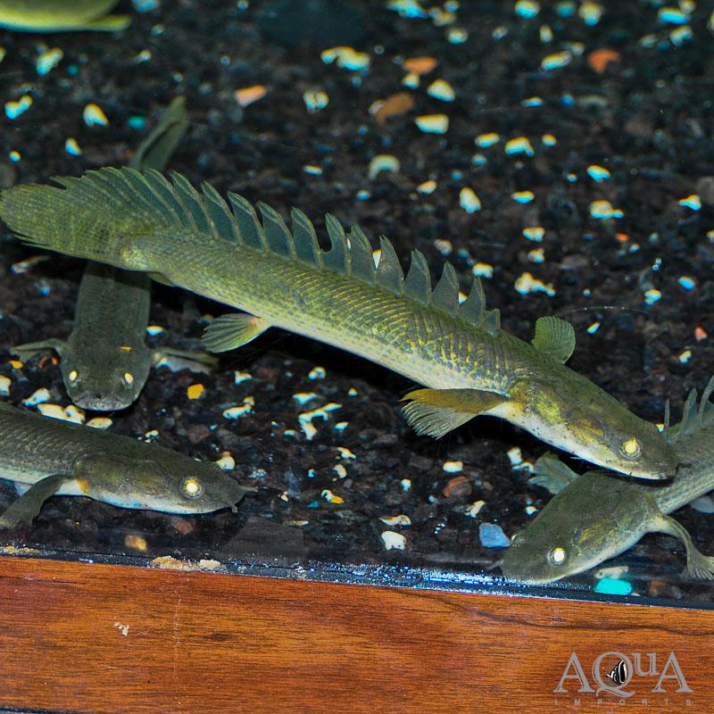 Congicus Bichir (Polypterus congicus)