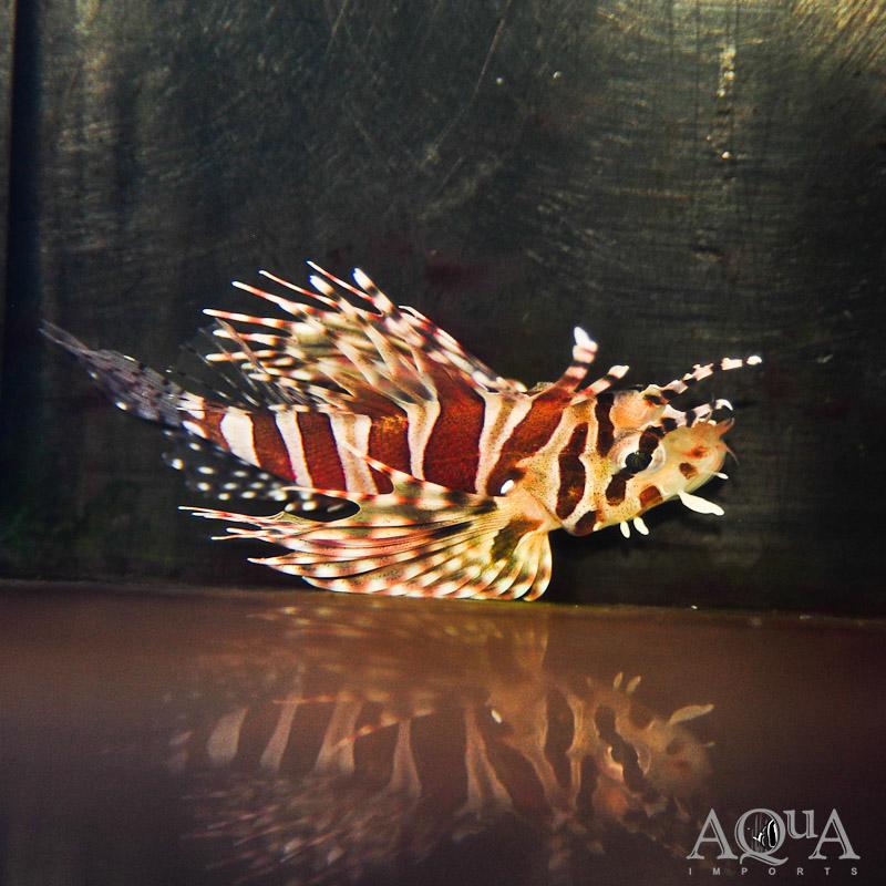 Dwarf Zebra Lionfish (Dendrochirus zebra)