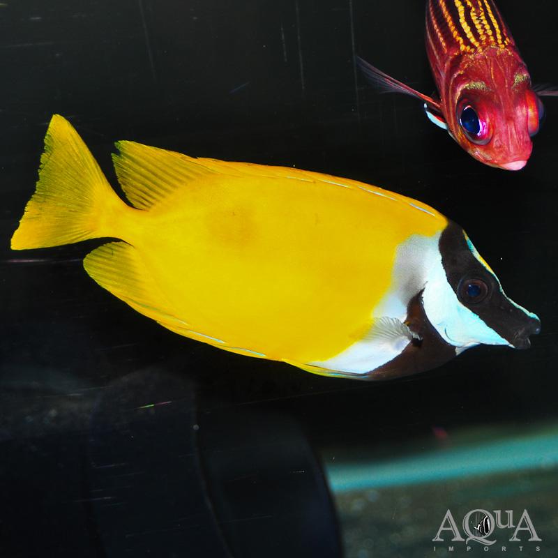 Foxface Rabbitfish (Siganus vulpinus)