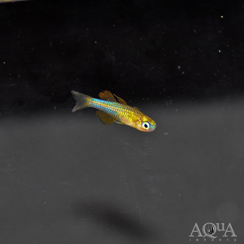 Red Neon Rainbowfish (Pseudomugil paskai)
