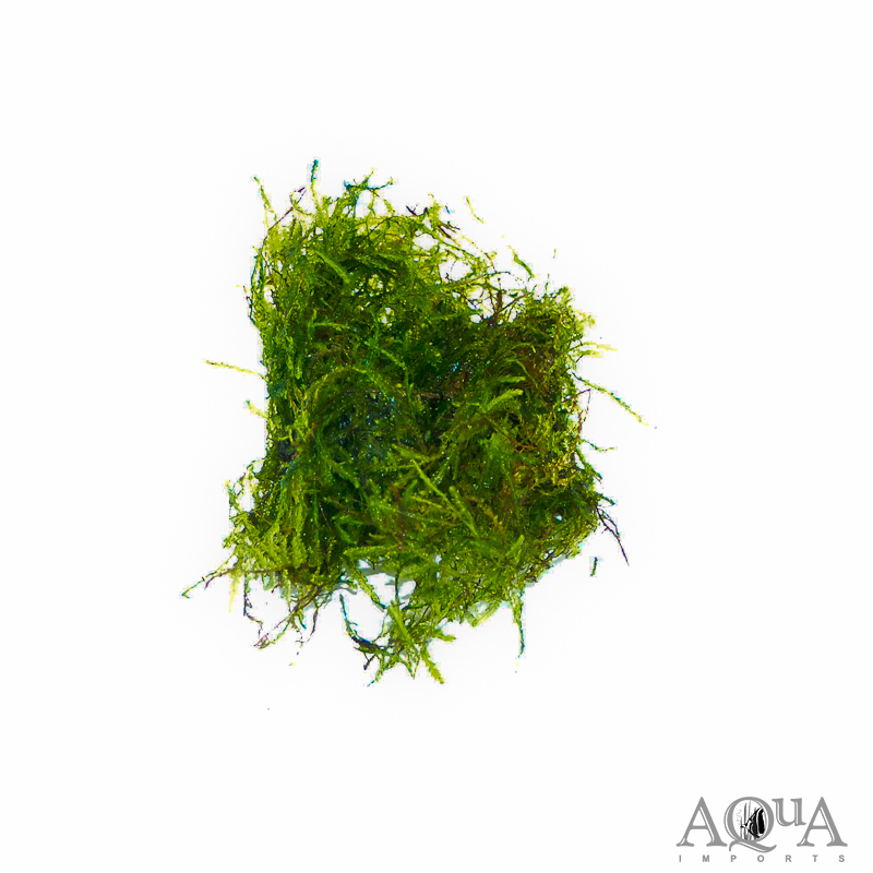 Taiwan Moss (Taxiphyllum sp. 'Taiwan Moss')