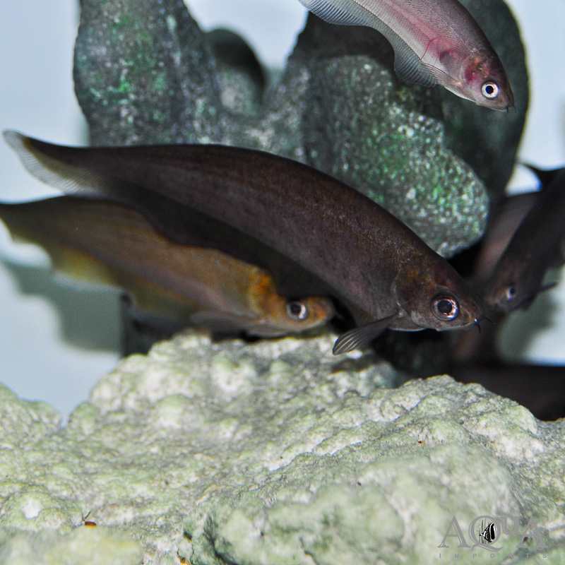 African Black Knifefish (Xenomystus nigri)