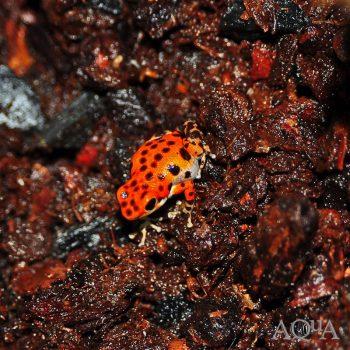 Oophaga pumilio Bastimentos Red Frog Beach Dart Frog