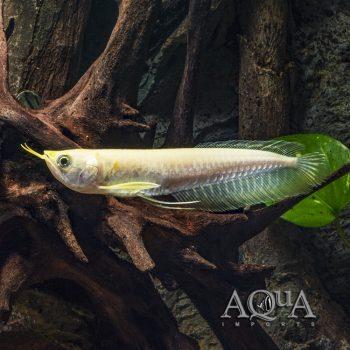 Golden Silver Arowana (Osteoglossum bicirrhosum)